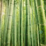 El bambú Japones