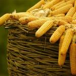 El mejor maíz