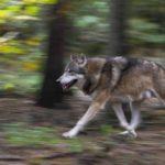 Que llegan los lobos